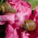 Snails & rose petals