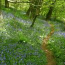 Bluebells in Fenteroon Wood near Camelford