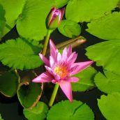 Lotus Flowers at Kiahune Plantation, Kauai