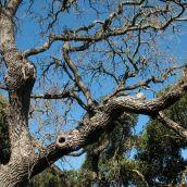 Oak Casualties