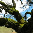 Old Mossy Oak Tree