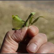 Praying mantis III