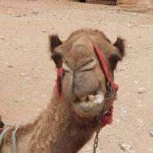 Camerl in Jordan