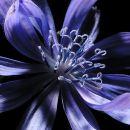 Chicory 1