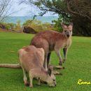 kangaroos (wallabies)