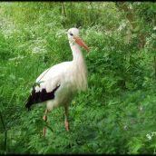 Stork hunting