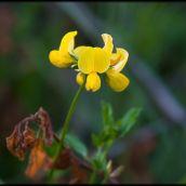 Lotus cornicolatus