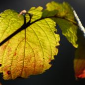 Blushing leaves (ii)