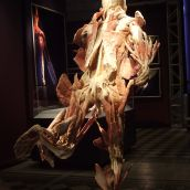 Human Body exhibition 04