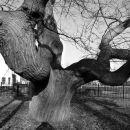 Chestnut tree Breda