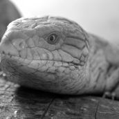 Blue Tongue Lizard 3D