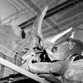 Triceratops Skull 3D