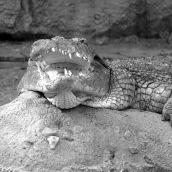 Crocodile Blijdorp 3D