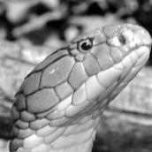 The power of Poison Cobra 3D