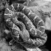 Ratlle Snake 3D