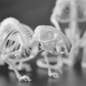Skeletons of mice 3D