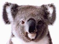 KoalaShirt