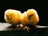 ChicksRule