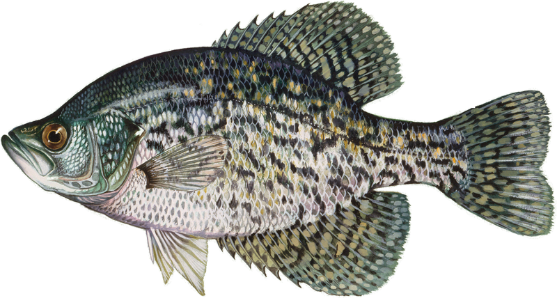 A photo of a Black Crappie