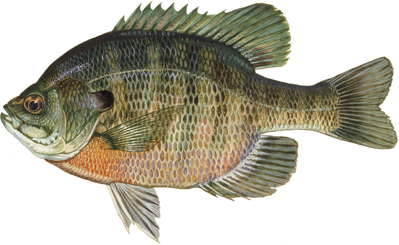 A photo of a Bluegill