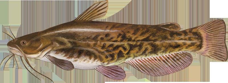 A photo of a Brown Bullhead Catfish