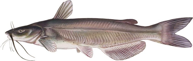 A photo of a Channel Catfish