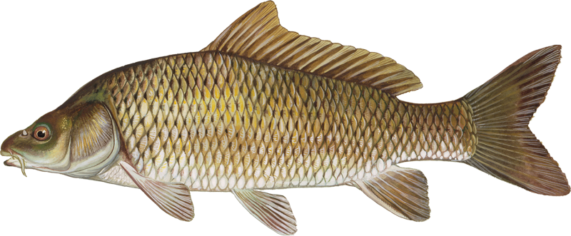 A photo of a Common Carp