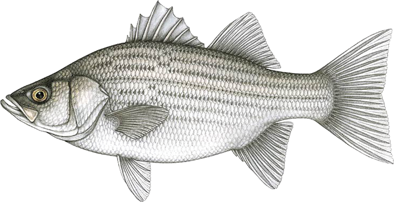 A photo of a Hybrid Striped Bass