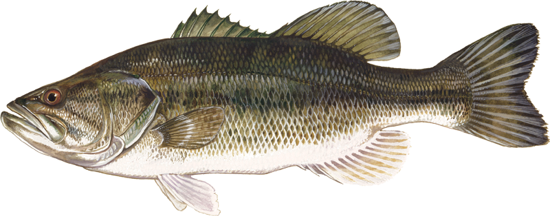 A photo of a Largemouth Bass