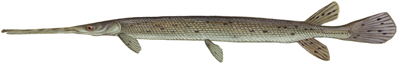 A photo of a Longnose Gar