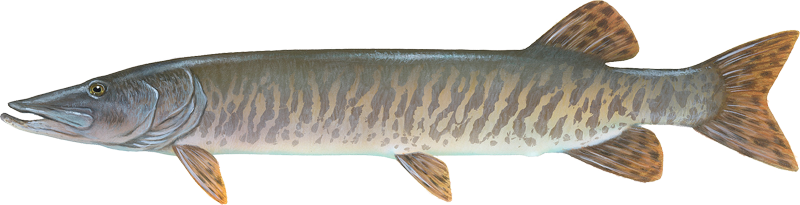A photo of a Muskellunge