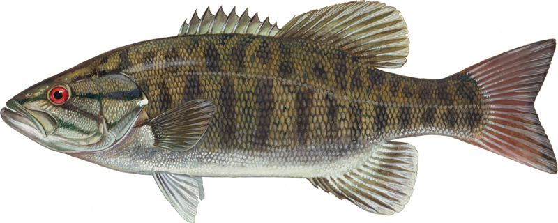 A photo of a Smallmouth Bass