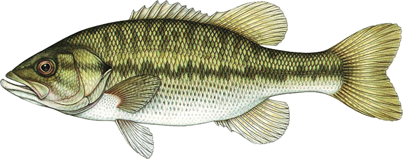 A photo of a Spotted Bass