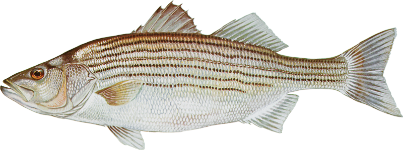 A photo of a Striped Bass