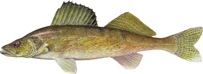 A photo of a Walleye