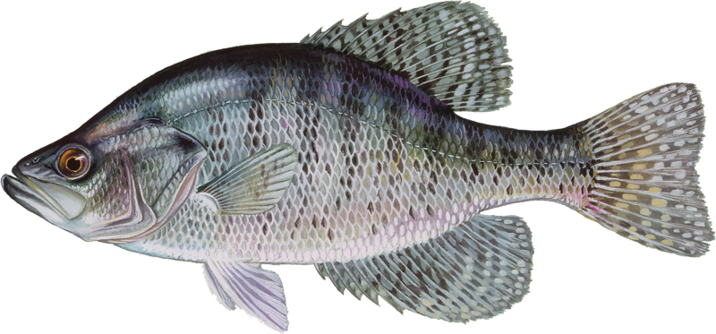 A photo of a White Crappie