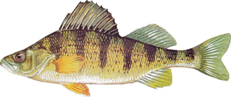 A photo of a Yellow Perch