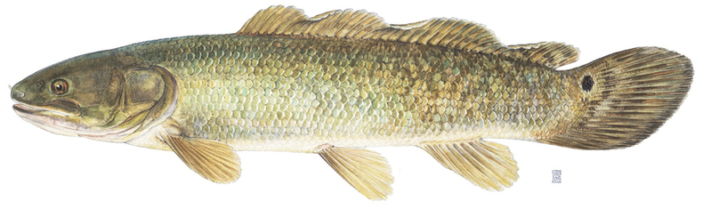 A photo of a Bowfin