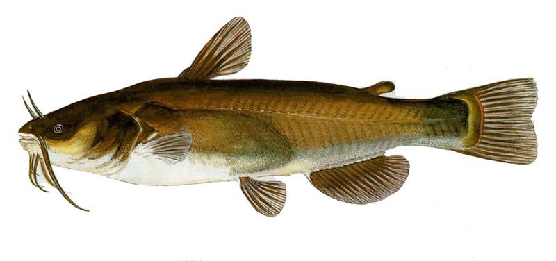 A photo of a Black Bullhead Catfish