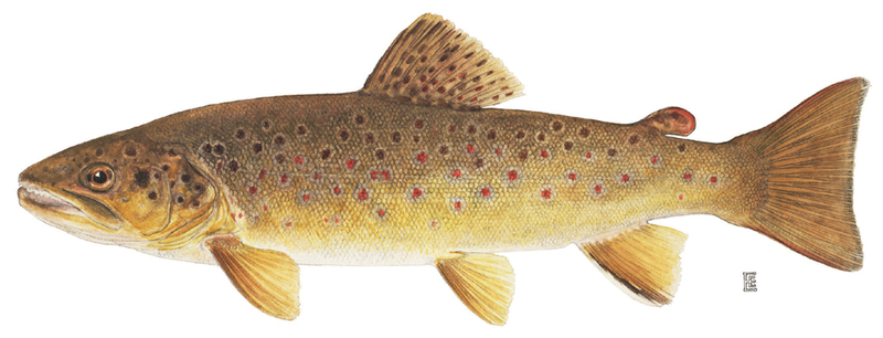 A photo of a Brown Trout