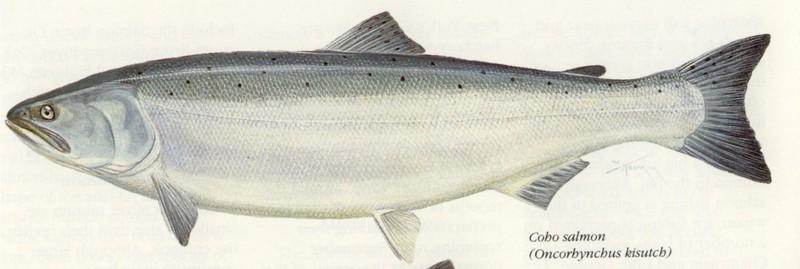 A photo of a Coho Salmon