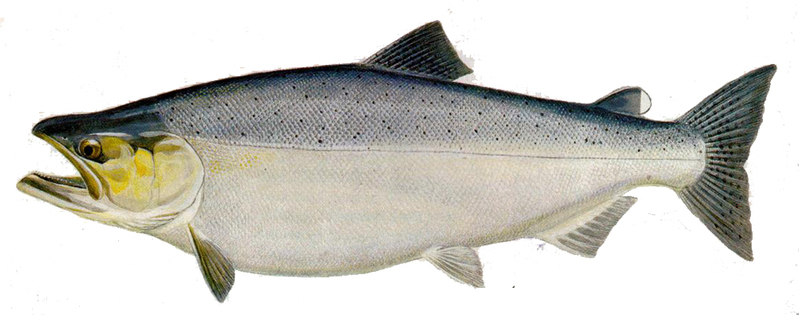 A photo of a Chinook Salmon