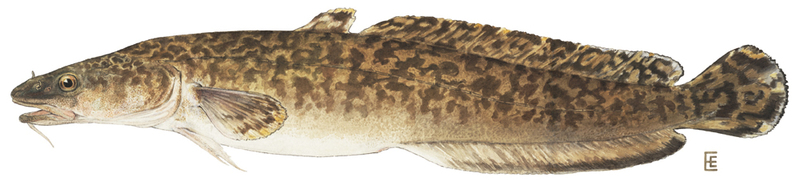 A photo of a Burbot