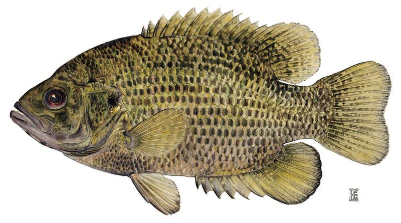 A photo of a Rock Bass