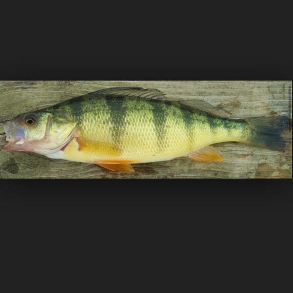 A photo of chaserocks's catch