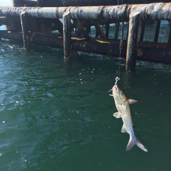 A photo of cvflyer's catch