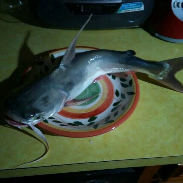 A photo of PescadorGallo_97 Chavez-Guzman's catch
