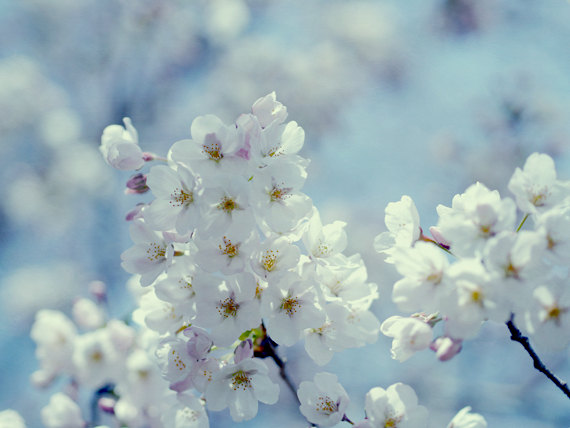 Cherry Blossom Art, Sakura Bloom Picture, Blue And White Spring Nature  Photograph, Pastel