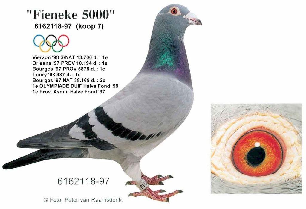 PigeonDB: FIENEKE 5000, UNKNOWN HEN