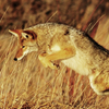 photo of a leaping coyote